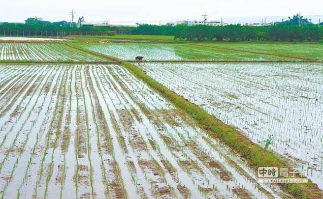 台湾专家发现水稻抗淹水机制 助稻农挺过水患