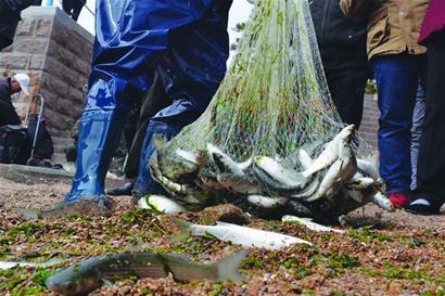 青岛栈桥海边梭鱼成群 一网下去捞上几十斤
