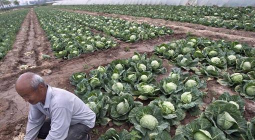 全国蔬菜现区域性滞销 部分品种跌破采摘成本价.jpg