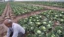 全国蔬菜现区域性滞销 部分品种跌破采摘成本价